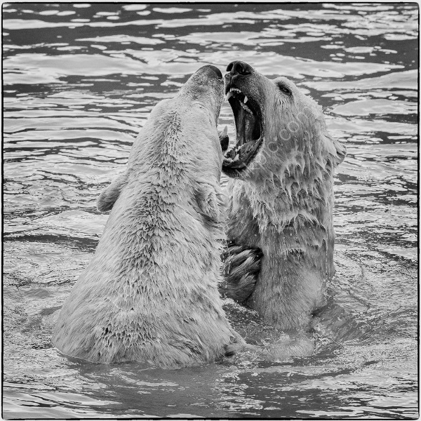 BEAR FIGHT by Christine Maughan