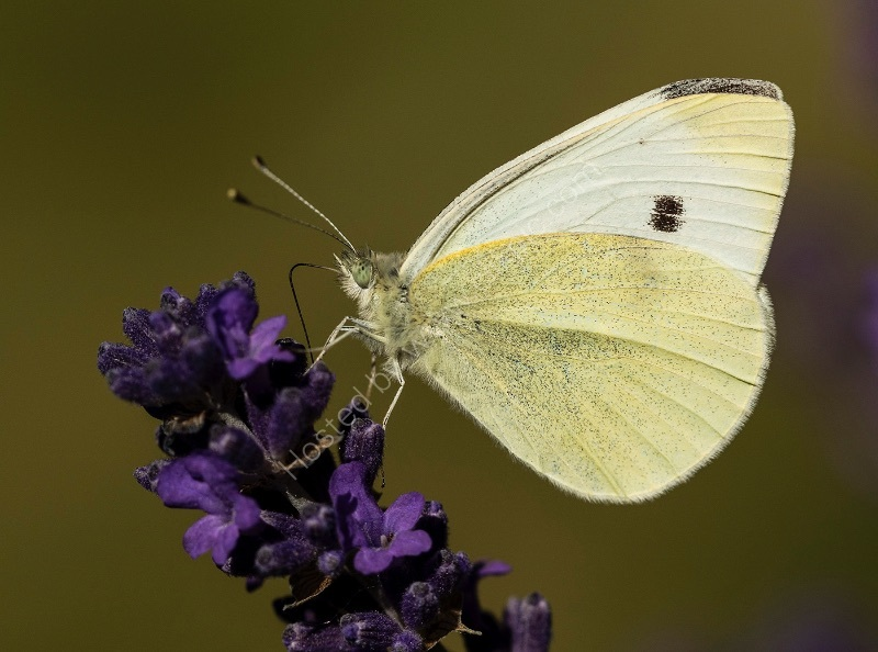 CABBAGE WHITE BUTTERFLY ON LAVENDER by David White
