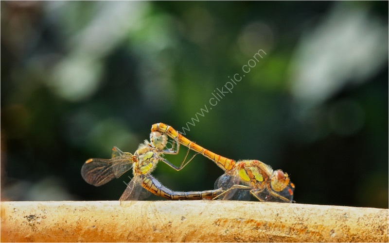 COMMON DARTER BEHAVIOUR by Jim Connolly