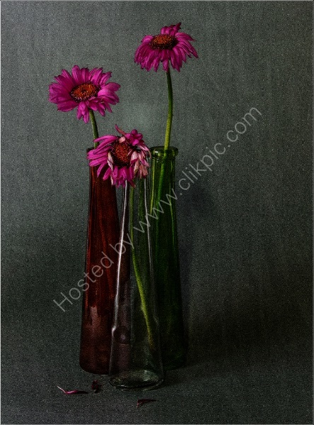 FADED GERBERA by Malcolm Sargent