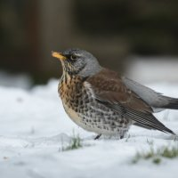 FIELDFARE by Christine Maughan