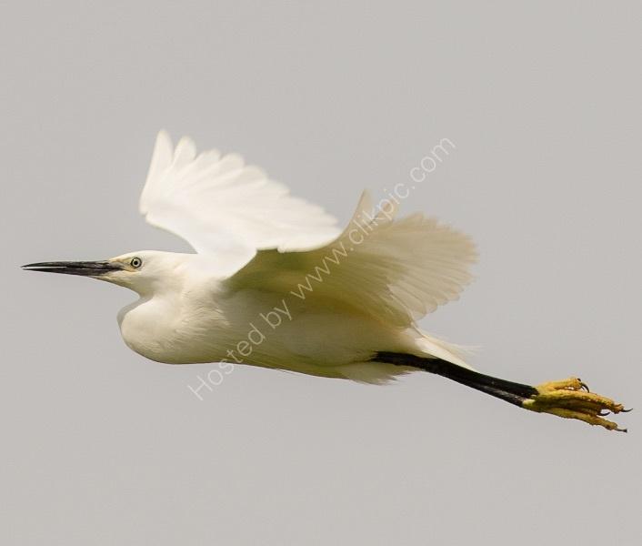 FLYING EGRET by Nigel Seale