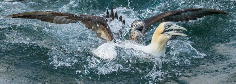 GANNETS FIGHTING OVER THE CATCH by Christine Maughan