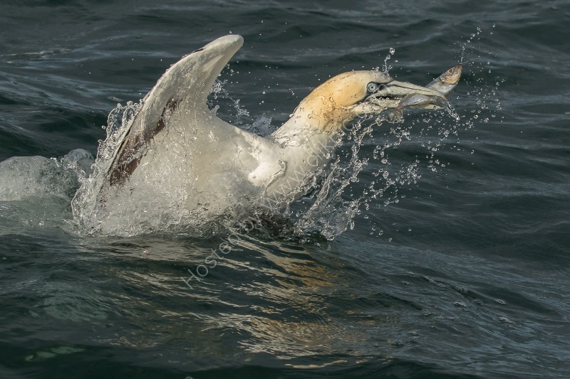 GANNET WITH CATCH by Christine Maughan