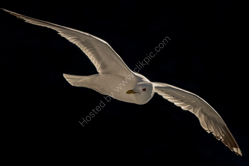 GULL ON THE WING by Nigel Seale