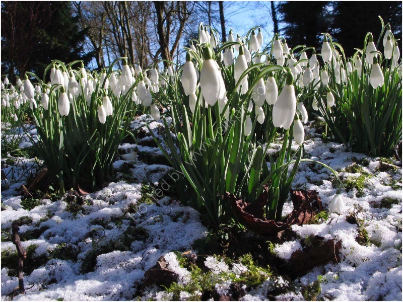 HOPTON SNOWDROPS by Mick Smith