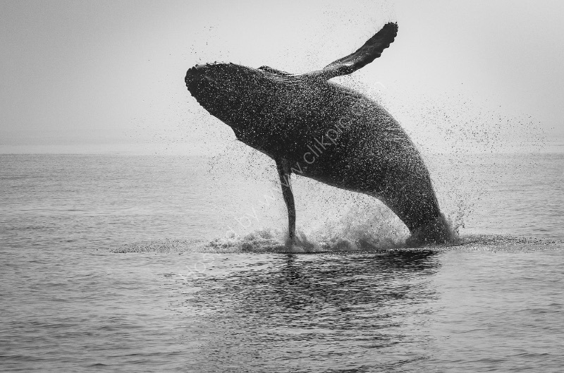 HUMPBACK WHALE BREACHING by Christine Maughan