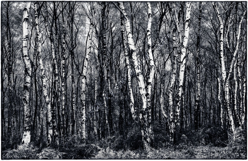 IN THE BIRCH WOOD by Christine Maughan