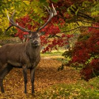 A STAG IN AUTUMN