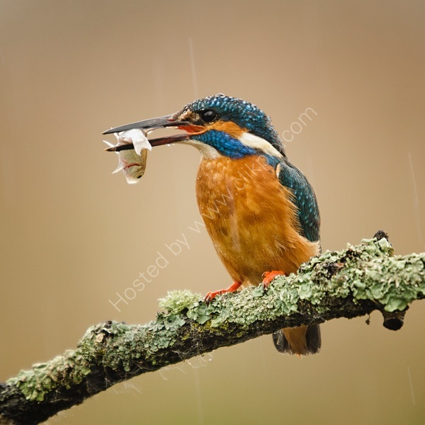 KINGFISHER IN THE RAIN