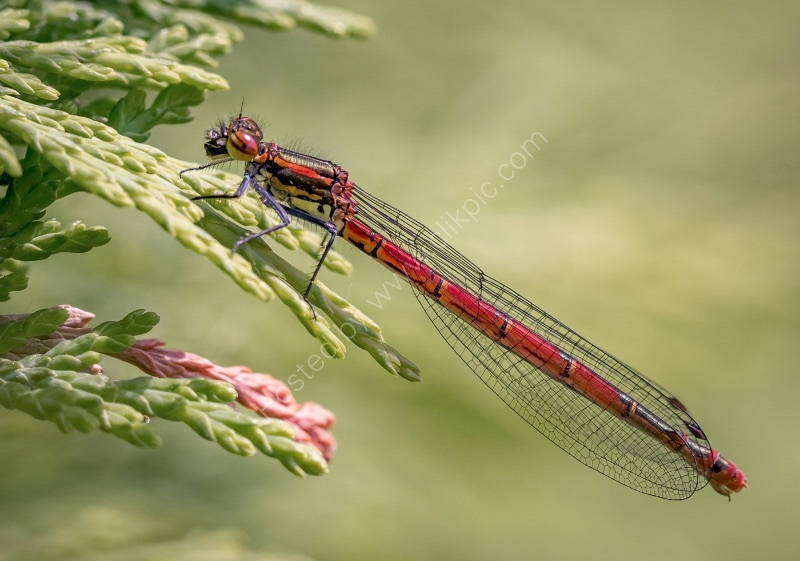 LARGE RED DAMSELFLY by Judi Neachell