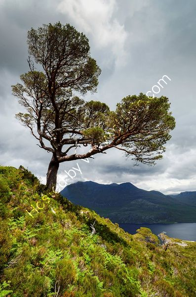 LOCH MAREE TREE by Kevin Taylor