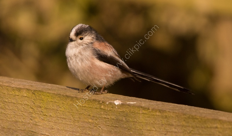 LONGTAILED TIT by Derrick Tuplin