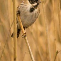 MALE REED BUNTING by Derrick Tuplin