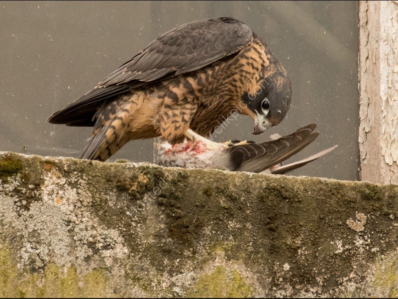 NEWLY FLEDGED PEREGRINE AT LUNCH by Stanley J Annable