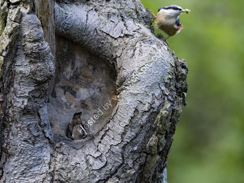 NUTHATCH ADULTS BUSY AT NEST by Stanley Annable