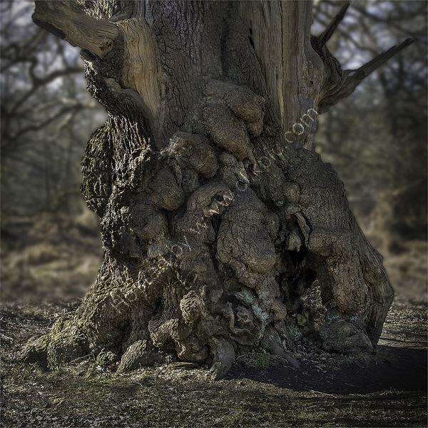 OLD OAK WITH BURL WOOD GROWTH by David Goodman