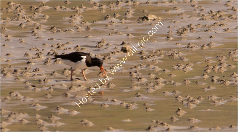 OYSTER CATCHER FEEDING by Derrick Tuplin