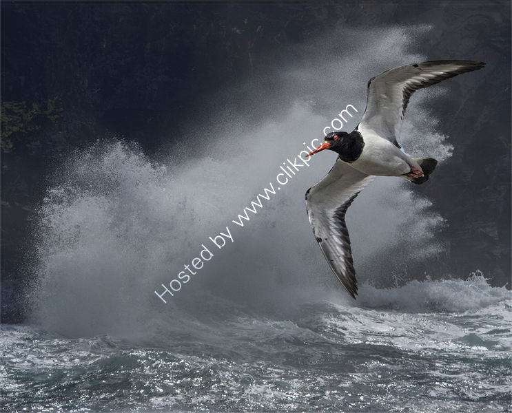 OYSTER CATCHER IN STORM by David White