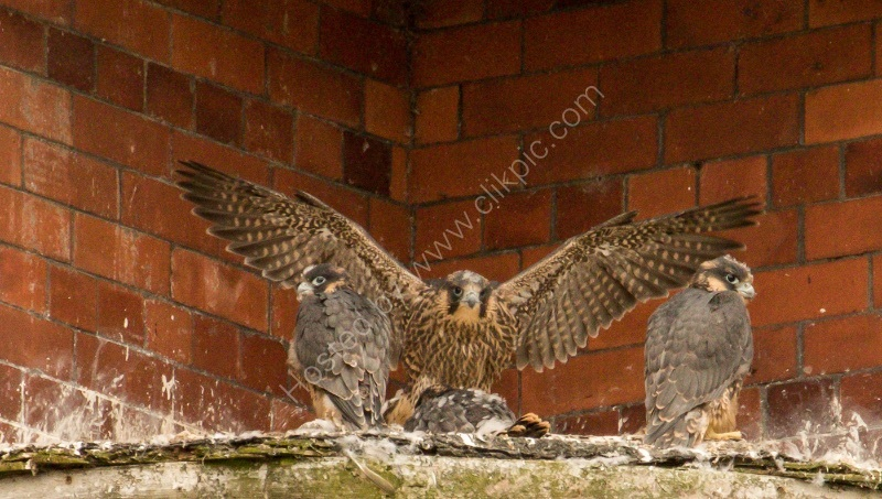 PEREGRINES CLOSE TO FLEDGING by Stanley J Annable