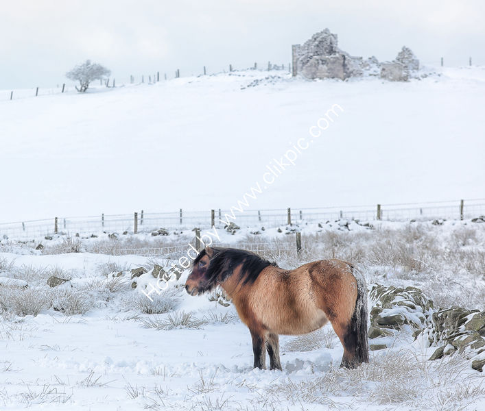 PONY IN THE SNOW By Michael Mears