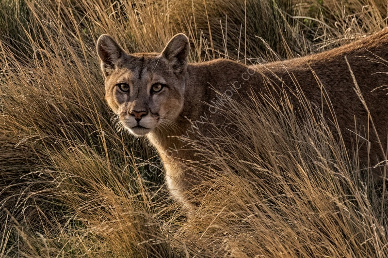 PUMA ON THE PROWL by Christine Maughan