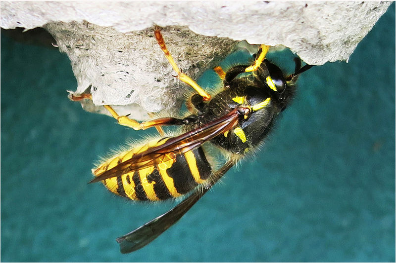 QUEEN WASP CONSTRUCTING NEST by Sue Swain