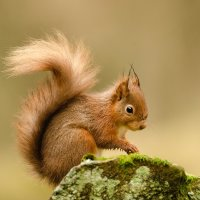 RED SQUIRREL By Wayne Churchill