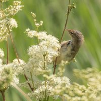 REED WARBLER IN HABITAT by Stanley J Annable