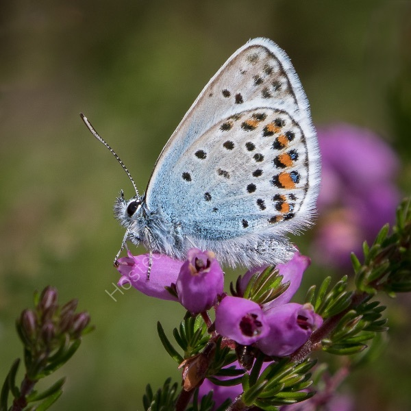 SILVER-STUDDED BLUE ON BELL HEATHER by Christine Maughan