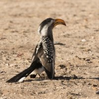 SOUTHERN YELLOW BILLED HORNBILL by Malcolm Neal