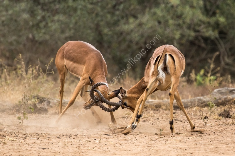 SPARRING IMPALAS by Christine Maughan