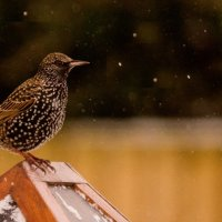 STARLING IN THE SNOW SHOWER by Derrick Tuplin