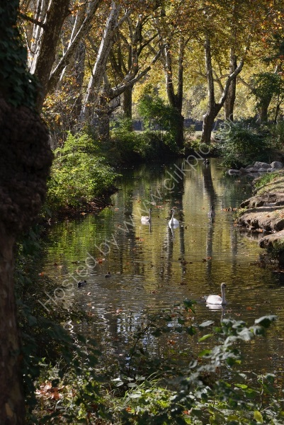 SWANS IN THE WOODS by Peter Dishart