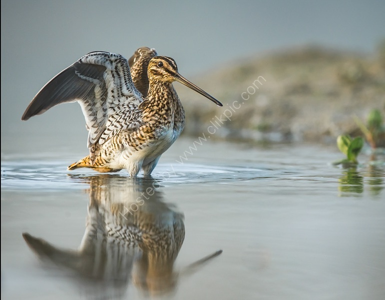 SNIPE WING STRETCH