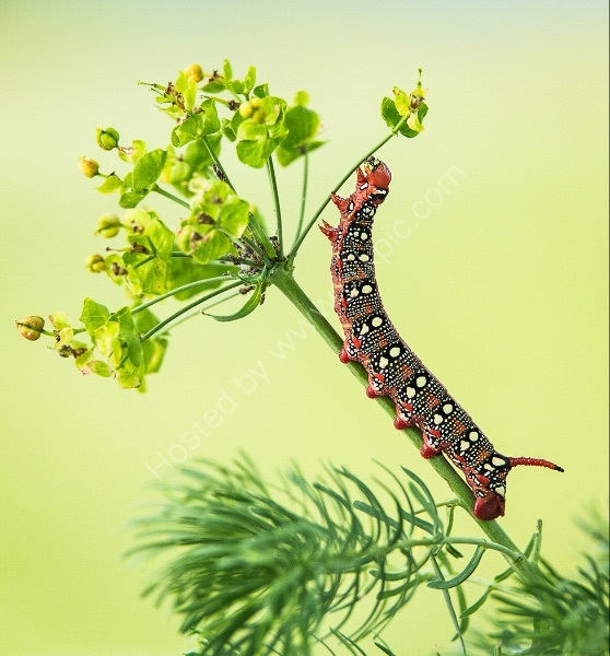 SPURGE MOTH CATERPILLAR