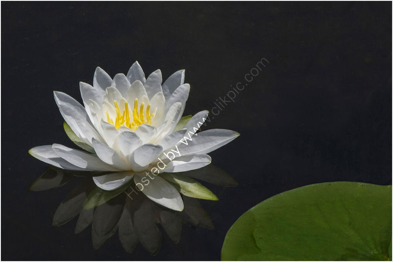 WATERLILY by Sue Swain