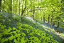 Bluebells (1) Oxton