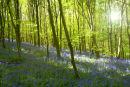 Bluebells (3)Oxton