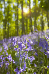 Bluebells off Greaves Lane