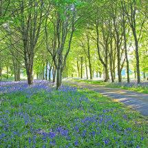 Bluebell Wood, Durris