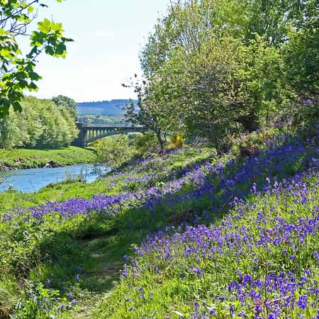 Bluebells by the River Dee
