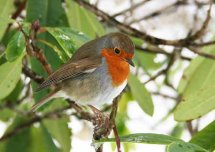 Robin, Crathes Castle Gardens