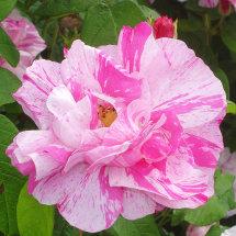 Rosa Gallica, Drum Castle Gardens