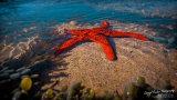 Starfish Feeding