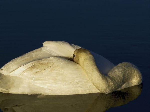 Swan Dozing