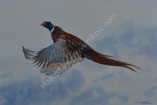 Pheasant Rising