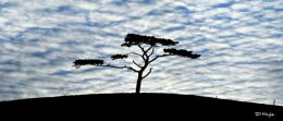 The Lonely tree , Oysterhaven , Co. Cork , Nov ' 10 .