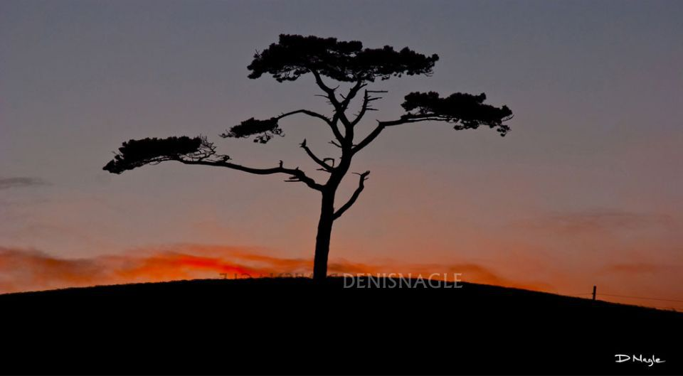 The Lonely tree , Oysterhaven , Co. Cork , Nov ' 08 .