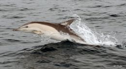 Dolphin , Bay of Biscay , June ' 08 .